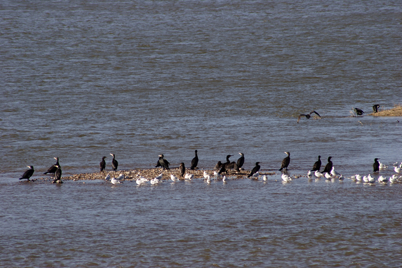 Grands cormorans et Mouettes rieuses au repos